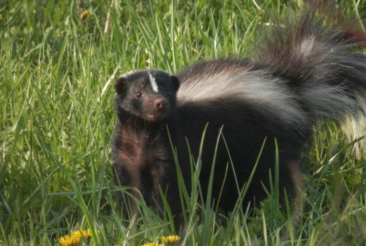 Skunk animals