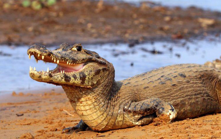 Yacarekaiman in Pantanal
