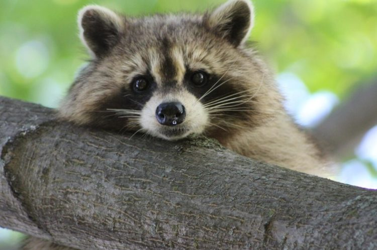 Raccoons can weigh 10-12 kg and are among the largest half bears.